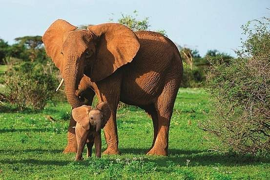 An elephant cub with its mother in the wild