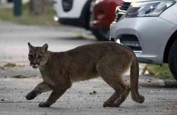 A wild puma on the streets of Santiago (AFP/Aton Chile/Andres Pina)