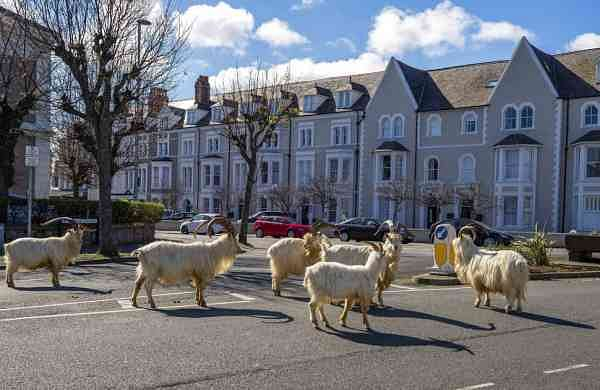 A herd of wild goats in Llandudno (Pete Byrne/PA via AP)