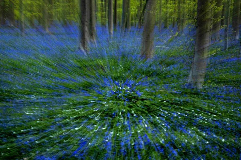 Bluebells or wild hyacinth in Hallerbos forest in Halle, Belgium. Bluebells are associated with ancient woodland and dominate forest floors in carpets of violet–blue flowers. (AP Photo/Virginia Mayo)