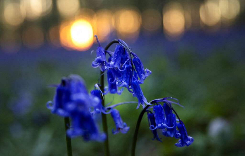 Bluebells or wild hyacinth bloom in Hallerbos forest, Belgium (AP Photo/Virginia Mayo)