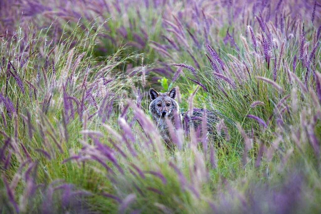 A jackal looks out from the bushes at Hayarkon Park in Tel Aviv, Israel. With a lockdown, the park is empty, clearing the way for packs of jackals to take over the urban oasis. (AP Photo/Oded Balilty)