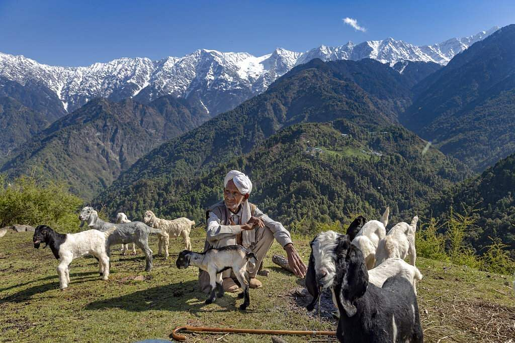 A local Gaddi shepherd sits with his flock against a backdrop of the snow-covered Dhauladhar range of the Himalayas in Dharmsala, Himachal Pradesh. (AP Photo/Ashwini Bhatia)