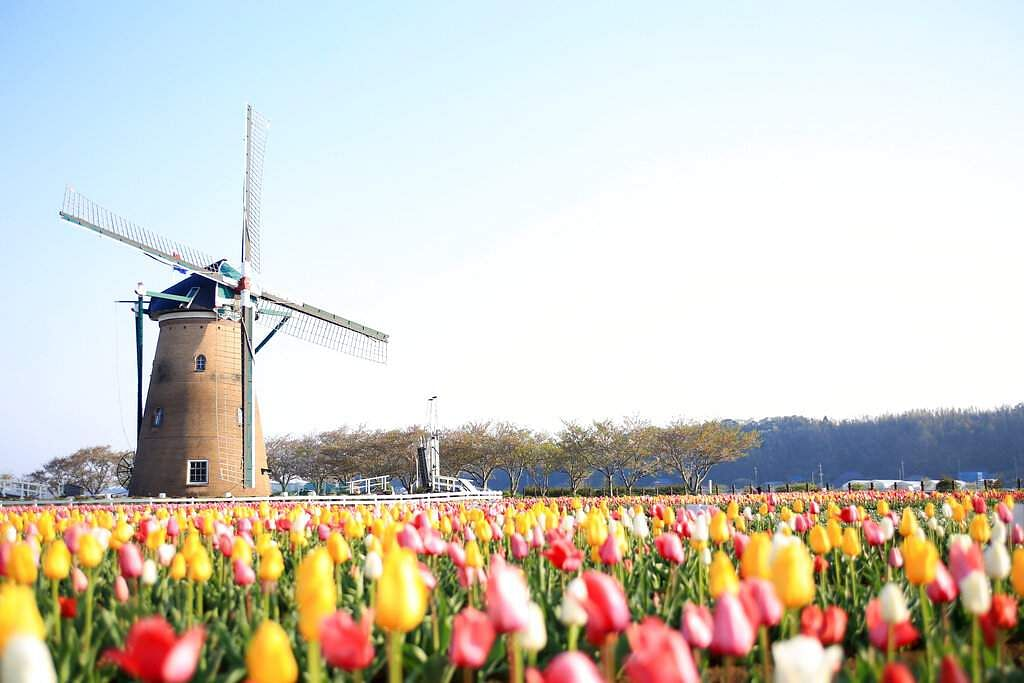 A windmill with tulips in full bloom just before they were razed to prevent crowds gathering at Sakura Furusato Square in Sakura, east of Tokyo. (Sakura City via AP)