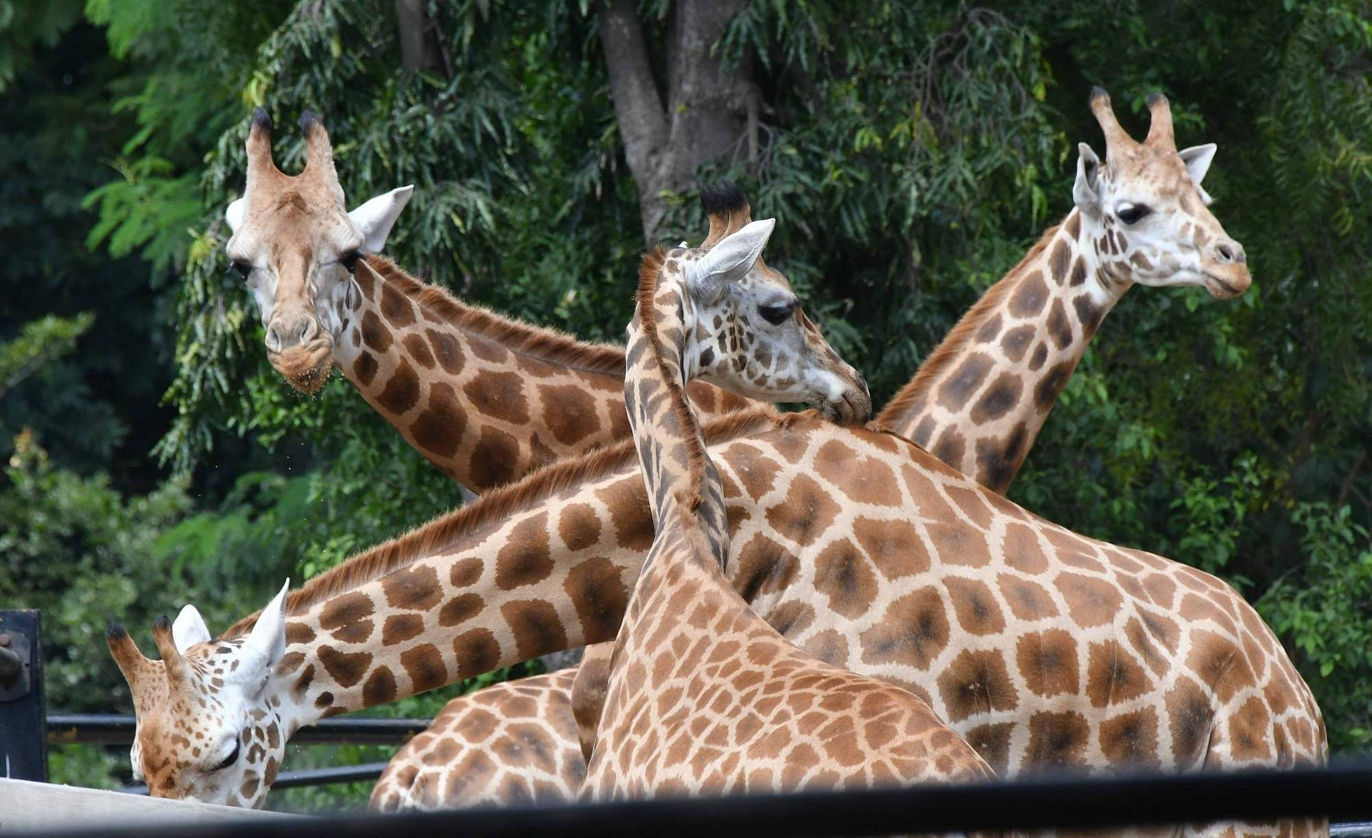 Giraffes at Mysuru Zoo (Photo: IANS)