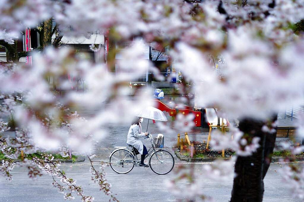 A woman wearing a protective face mask to help stop the spread of the coronavirus rides a bicycle past blooming cherry blossom trees in Tokyo. Japan. (AP Photo/Eugene Hoshiko)