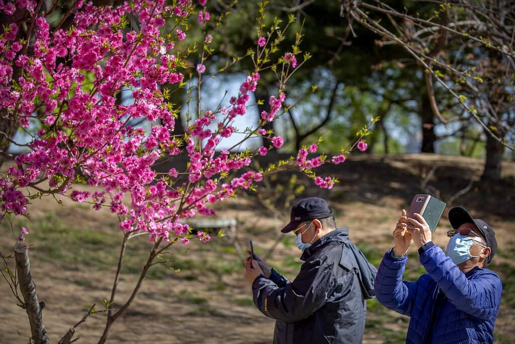 People wear face masks to protect against the spread of coronavirus as they take photos of blossoms at Yuyuantan Park in Beijing, China. (AP Photo/Mark Schiefelbein)