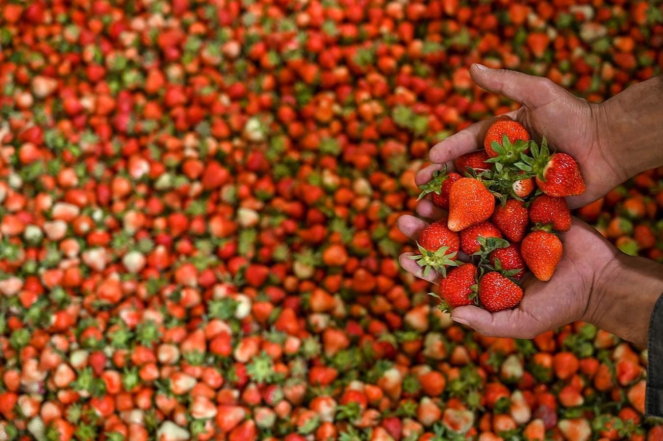 Srinagar, Jammu and Kashmir: A farmer shows strawberries before packing them after harvesting in Srinagar. (AFP/Tauseef Mustafa)