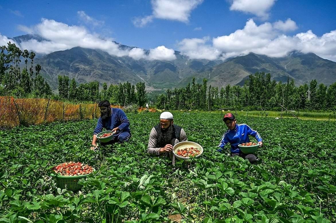 Srinagar, Jammu and Kashmir: Farmers harvest strawberries in a field in Srinagar. (AFP/Tauseef Mustafa)