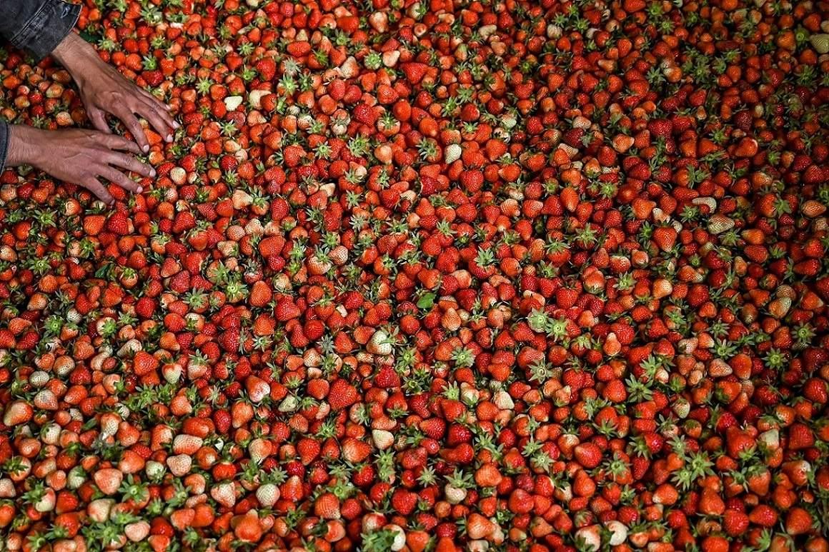 Srinagar, Jammu and Kashmir: A farmer adjusts strawberries before packing them after harvesting in Srinagar. (AFP/Tauseef Mustafa)