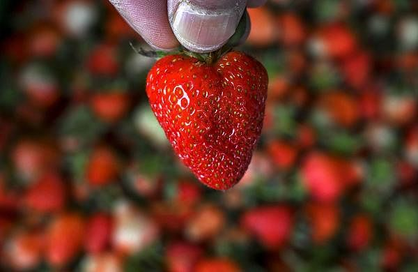 Srinagar, Jammu and Kashmir: A farmer shows a strawberry before packing them after harvesting in Srinagar. (AFP/Tauseef Mustafa)