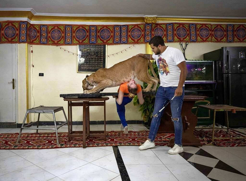 Lion tamer Ashraf el-Helw, 26, leads a show with his 5-year-old female African lion Joumana inside their apartment in Cairo, Egypt. (AP Photo/Nariman El-Mofty)
