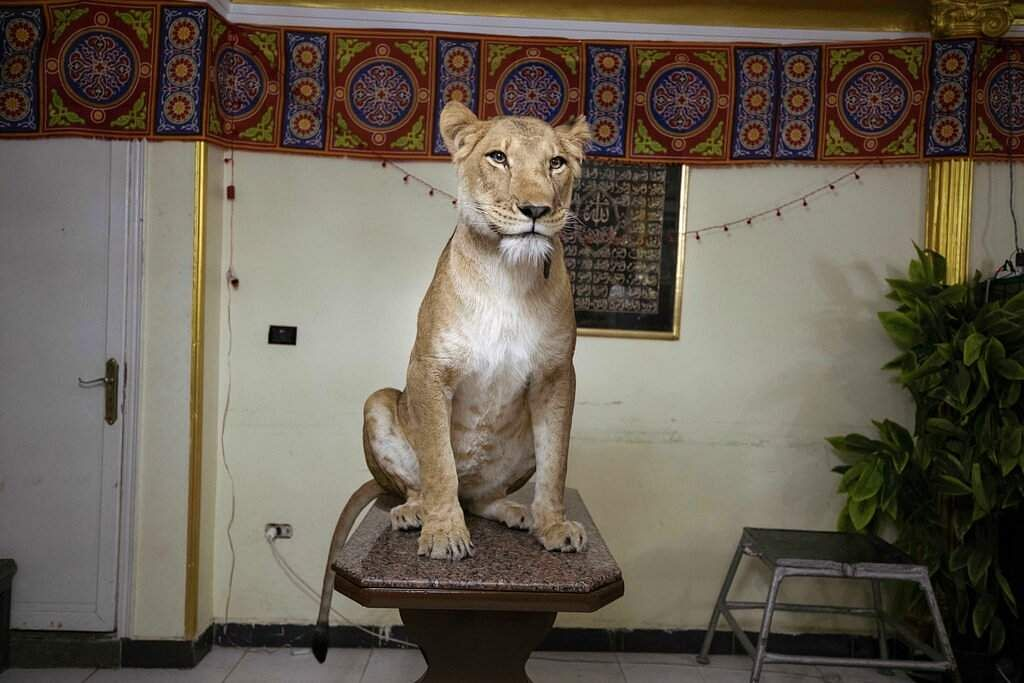 Five-year-old female African lion Joumana sits on a table after lion tamer Ashraf el-Helw, 26, led a show urging people to stay home, from his apartment in Cairo, Egypt. (AP Photo/Nariman El-Mofty)