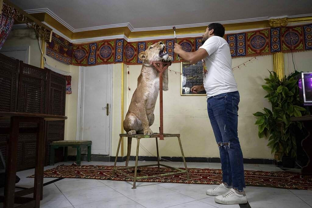 Lion tamer Ashraf el-Helw, 26, leads a show on social media with his 5-year-old female African lion Joumana from inside his family apartment in Cairo, Egypt. (AP Photo/Nariman El-Mofty)