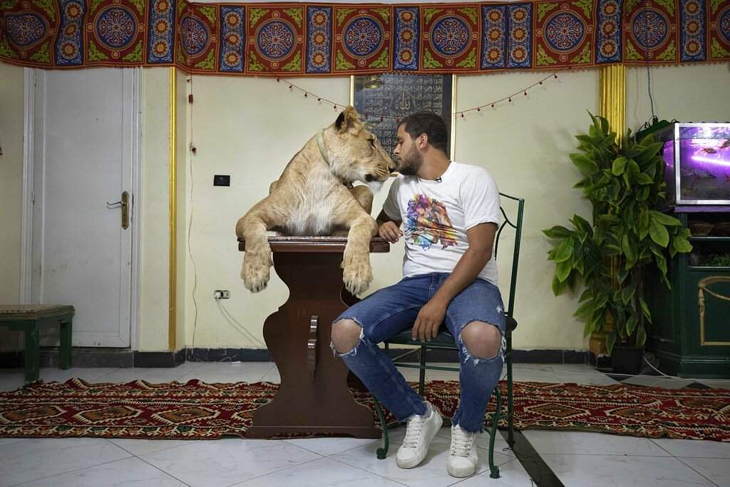 Lion tamer Ashraf el-Helw, 26, sits next to his 5-year-old female African lion Joumana after hosting a show inside his family apartment in Cairo, Egypt. (AP Photo/Nariman El-Mofty)
