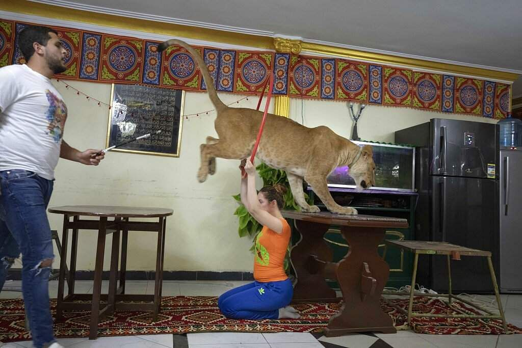 Ashraf and his sister Bushra el-Helw host a show on social media with 5-year-old female African lion Joumana from inside their apartment in Cairo, Egypt. (AP Photo/Nariman El-Mofty)