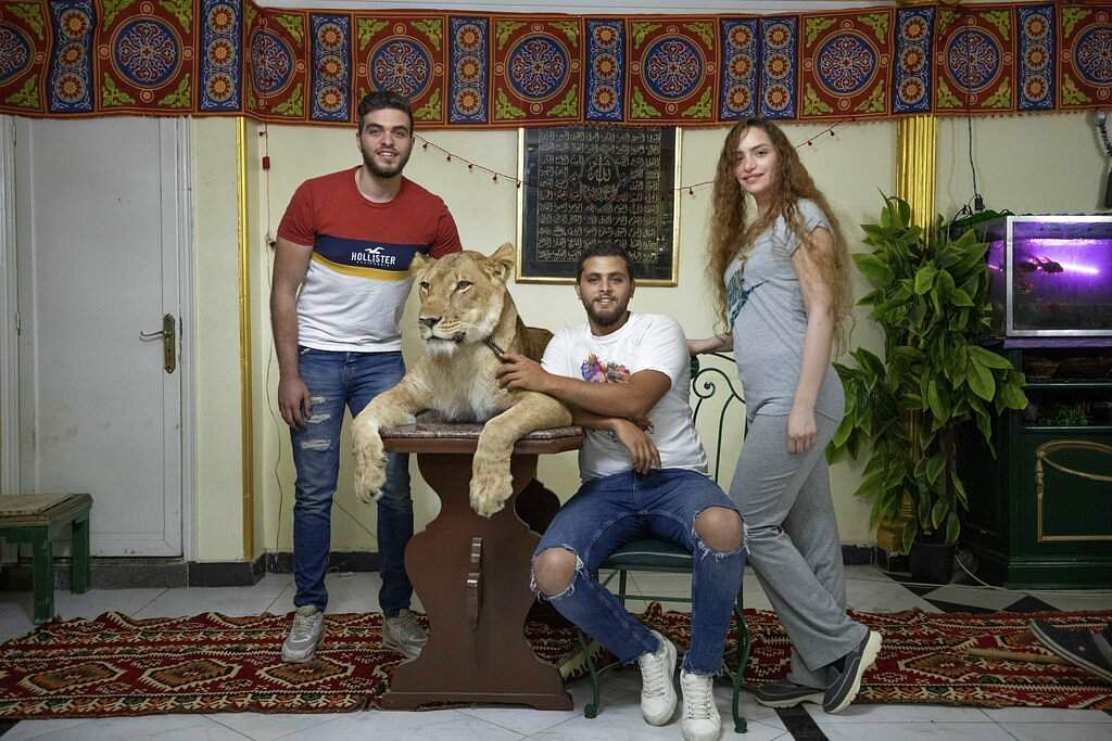 Siblings and lion tamers Bushra, Ashraf and Youssef el-Helw pose with 5-year-old female African lion Joumana after performing a show inside their apartment in Cairo, Egypt. (AP Photo/Nariman El-Mofty)