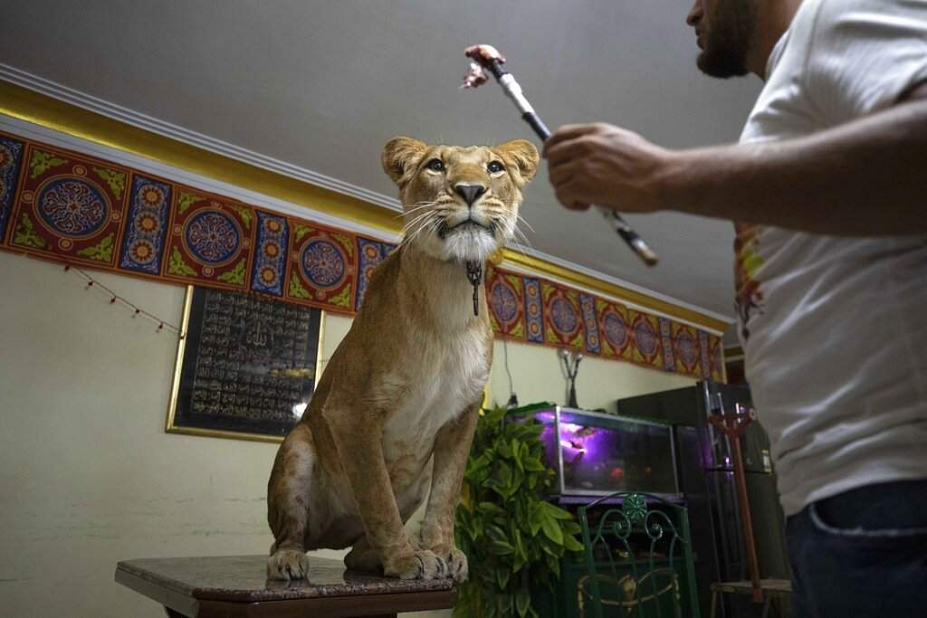 Lion tamer Ashraf el-Helw, 26, feeds his 5-year-old female African lion Joumana after performing a show on social media from inside his family apartment in Cairo, Egypt. (AP Photo/Nariman El-Mofty)