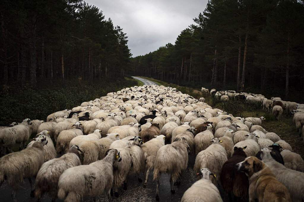 A flock of sheep move on an empty road near Soria, as the lockdown to combat the spread of the coronavirus continues in Spain. (AP Photo/Felipe Dana)