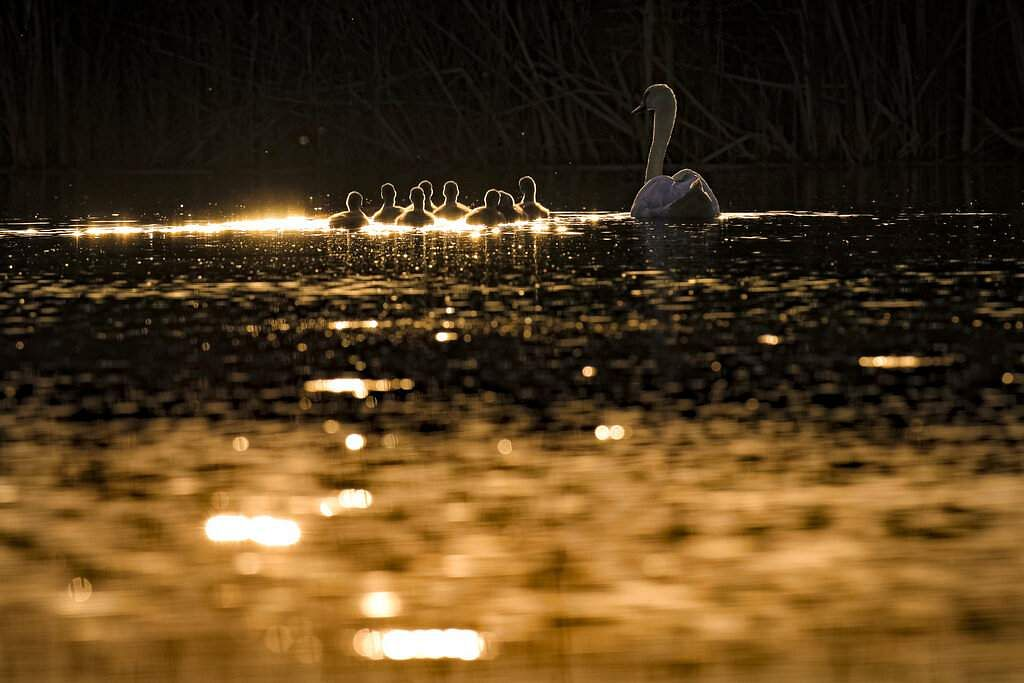 A swan swims next to its eight cygnets on a pond in the Vacaresti nature park, an urban protected area, in Bucharest, Romania. (AP Photo/Vadim Ghirda)