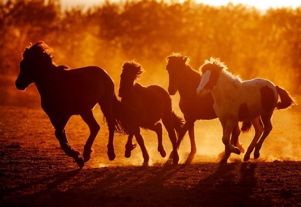 Icelandic stallions run in their paddock at a stud farm in Wehrheim near Frankfurt, Germany during the global lockdown. (AP Photo/Michael Probst)