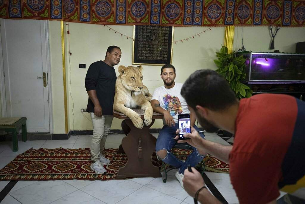 Youssef el-Helw takes a photo of Ashraf with his team mate Mahmoud, who works at the national circus and 5-year-old female African lion Joumana. (AP Photo/Nariman El-Mofty)