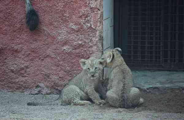 African lion cubs make first appearance at Hyderabad Zoo (Photo: IANS)