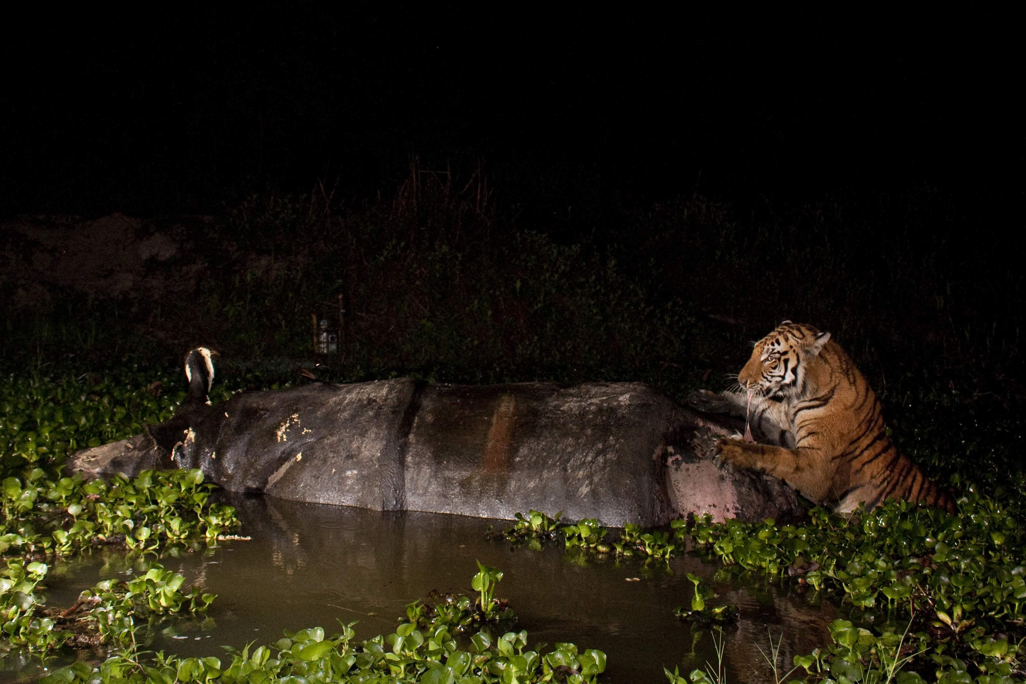 Sandesh_Kadur_Tiger_Feeding_on_Rhino