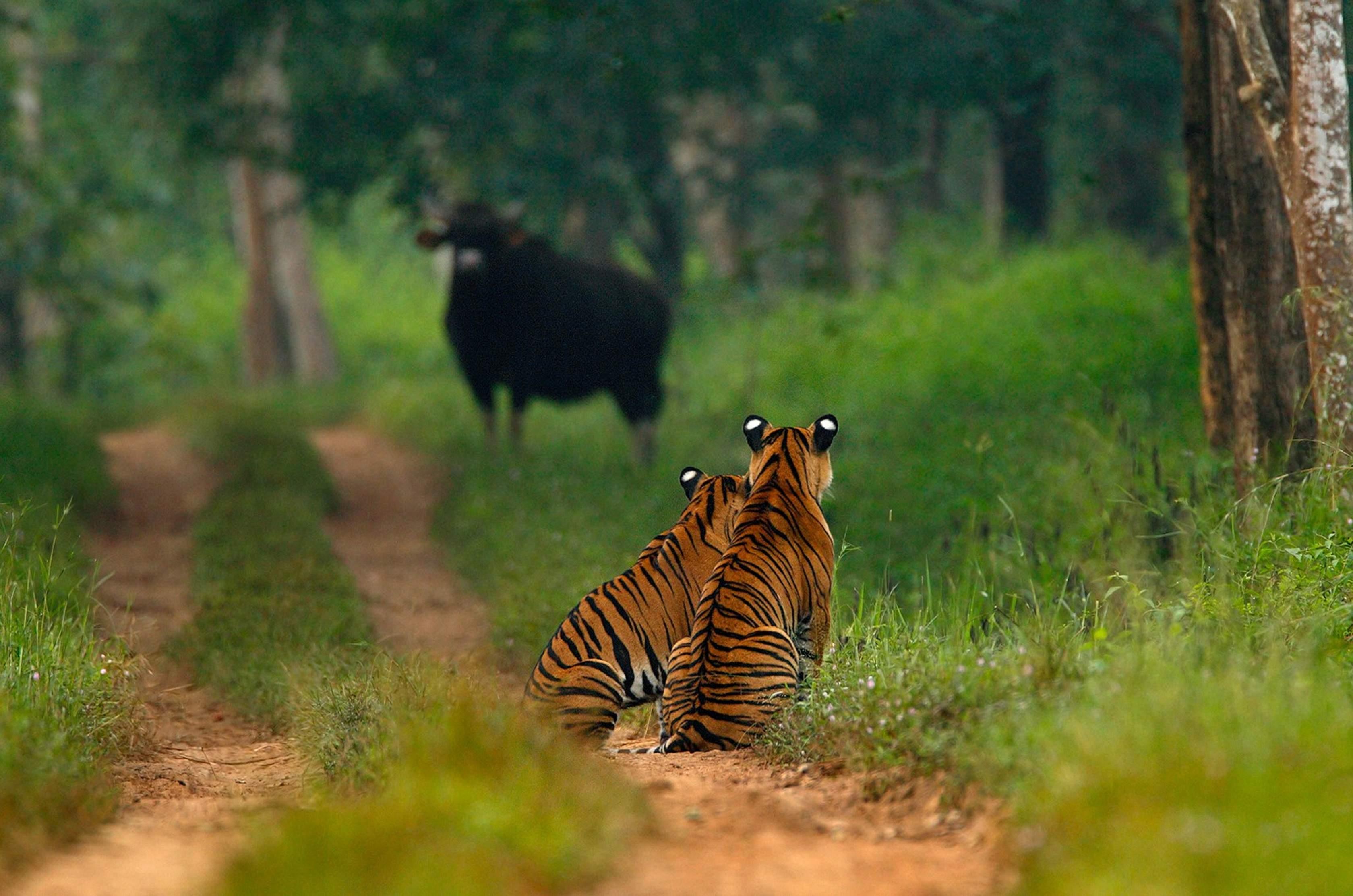 Sudhir_Shivaram_Tiger_Wildlife_shot