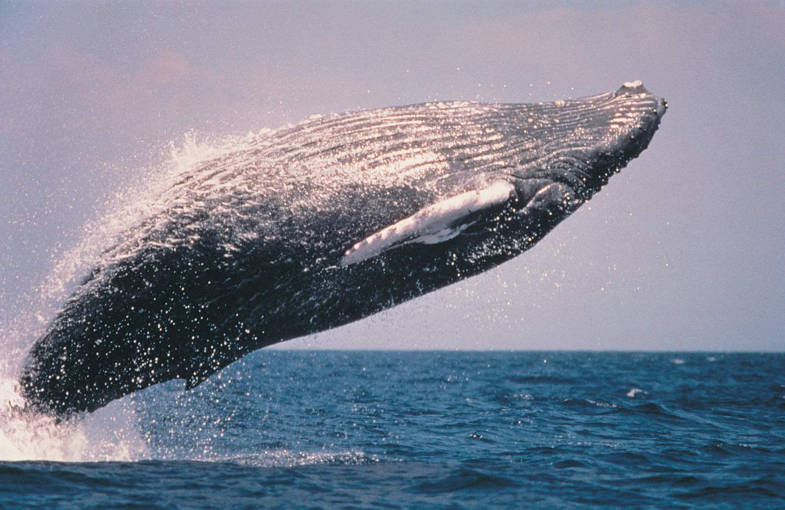 A_humpback_whale swallows US diver