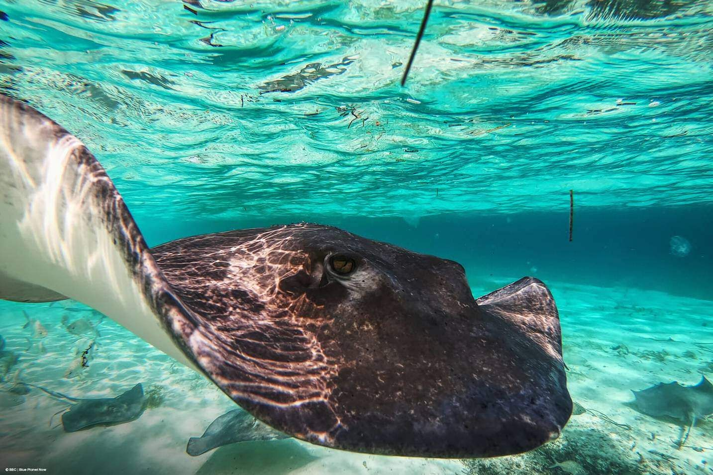 World Ocean Day: A Southern Stingray swims in Honeymoon Harbour, Bahamas