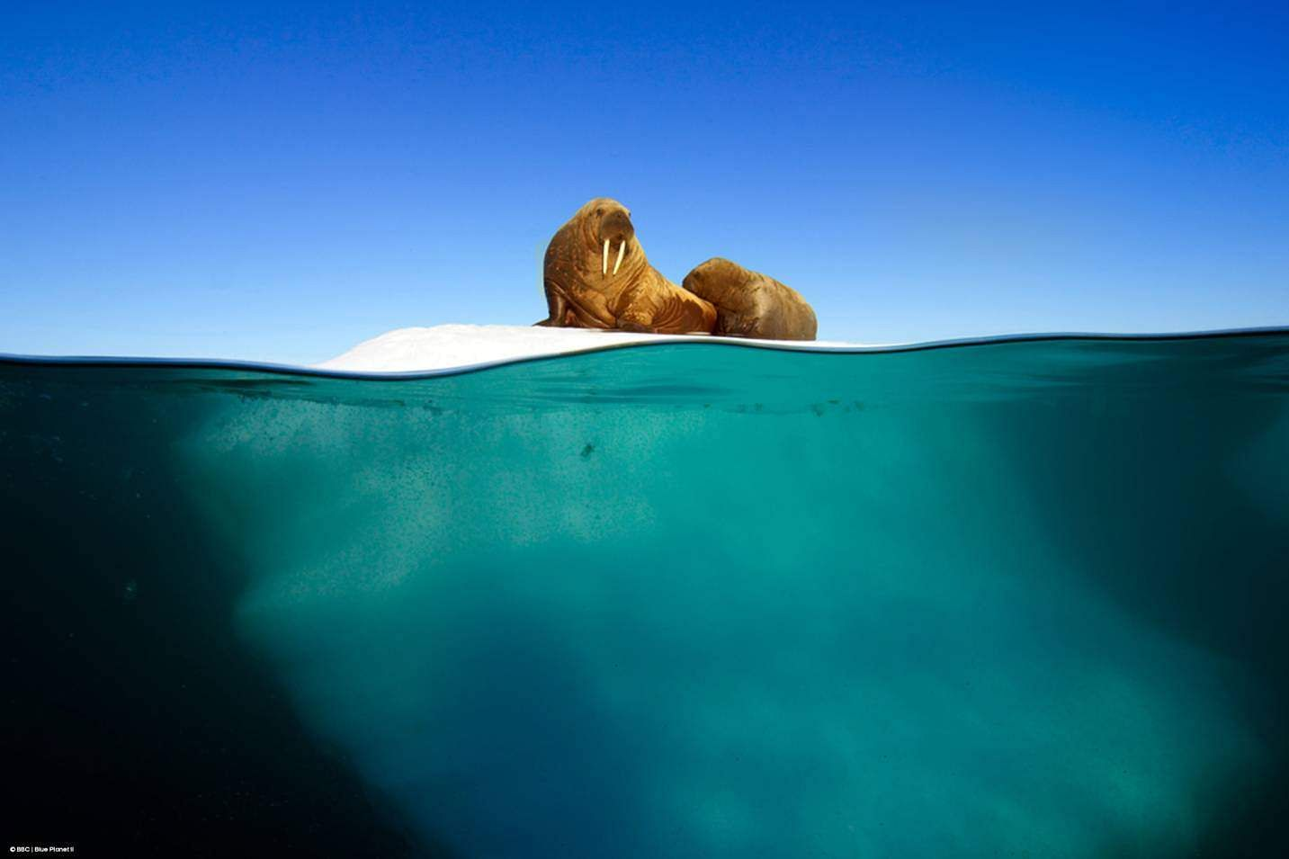 World Ocean Day: Walruses sitting on a patch of ice, filmed using the innovative 'Megadome' camera