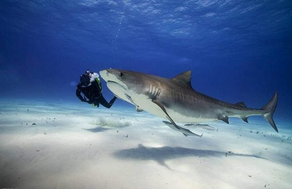 World Ocean Day: Adventurer Steve Backshall swims up close with a tiger shark in the Bahamas