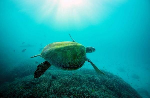 World Ocean Day: An adult Green Sea Turtle swims in The Great Barrier Reef