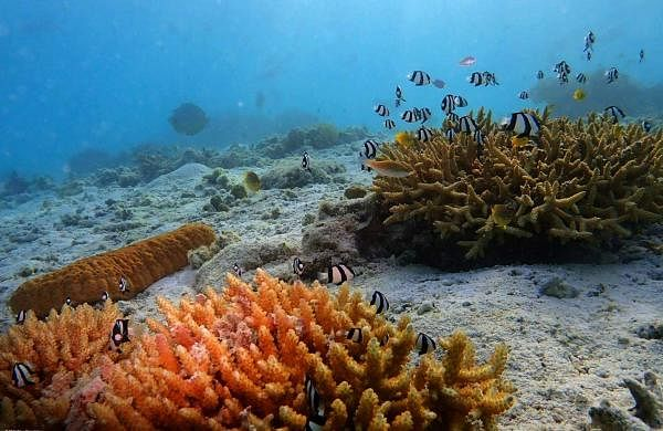 World Ocean Day: Damselfish guarding their coral gardens in The Great Barrier Reef