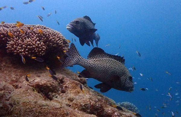 World Ocean Day: Spotted Sweetlips uses a coral cleaning station on The Heron Reef