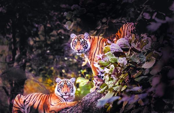 Tigers of Ranthambore National Park by Latika Nath