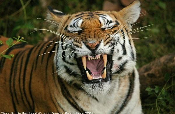 International Tiger Day: Here's a picture of a tiger yawning